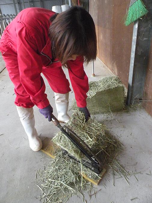 子牛がより食べやすく消化しやすいように粗飼料を細かく切って与える
